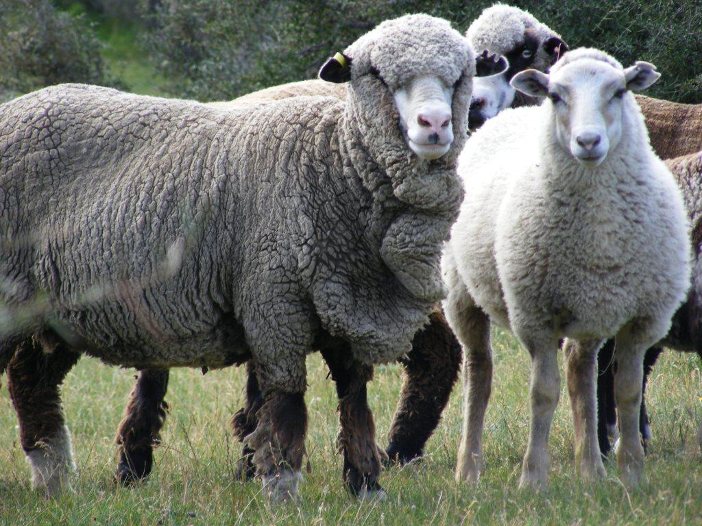 Welcome to Chocolate Wool NZ - Gotland Sheep & Wool